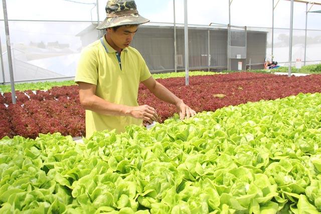 """Thạc sĩ bỏ việc về """"nghịch đất"""" trồng rau, thu nhập """"không phải dạng vừa đâu"""" - 2"""