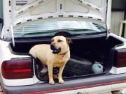 Thế giới - Úc: Chó pit bull cắn khách, chủ lao vào cứu liền bị cắn chết