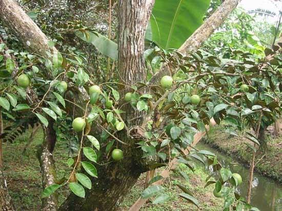 Tác dụng tuyệt vời từ quả tới thân và lá của cây vú sữa - 1