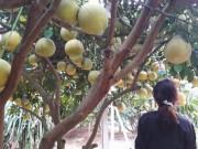 """Thị trường - Tiêu dùng - Mãn nhãn vườn bưởi đỏ 40.000 quả thơm lừng, """"khủng"""" nhất đất Mường"""