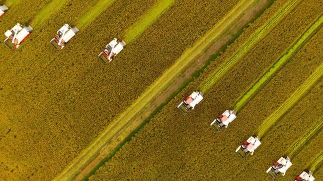 Nông dân thu hoạch lúa trên cánh đồng ở Hưng Hóa, tỉnh Giang Tô, Trung Quốc.