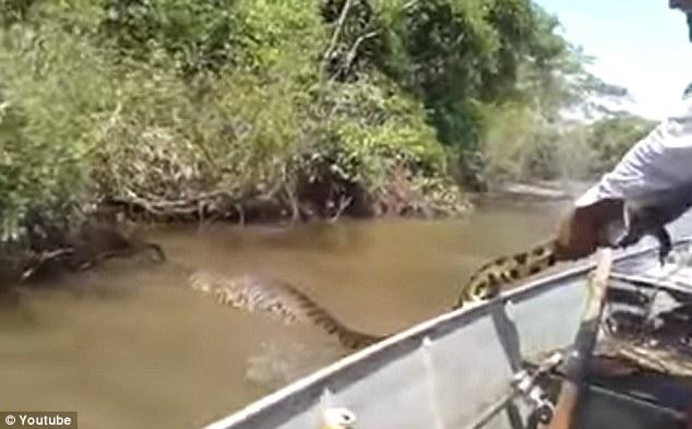 Choáng váng với trăn khổng lồ kinh dị trên sông Brazil - 2