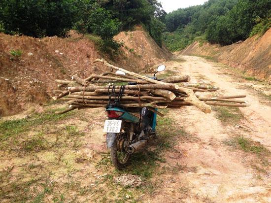 Thanh Hóa: Thương lái Trung Quốc đổ xô mua cây Ba Chạc? - 3
