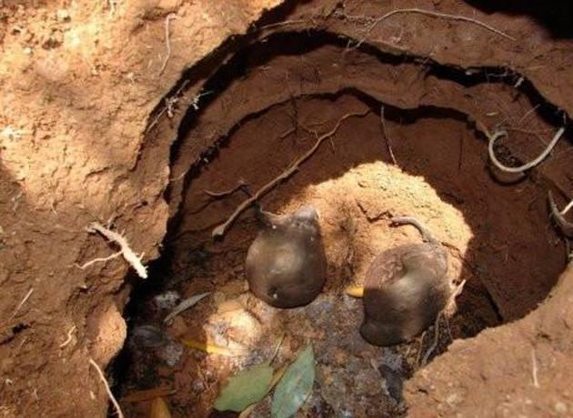 Đào ổ kiến để tìm giống nấm quý hiếm, giá 68 triệu/kg - 6