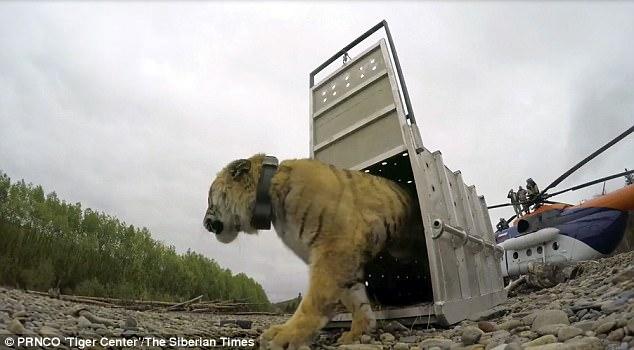 Nga: Hổ quý hiếm lặn lội 600 km về thăm TP, giết 3 gấu ăn dọc đường - 1