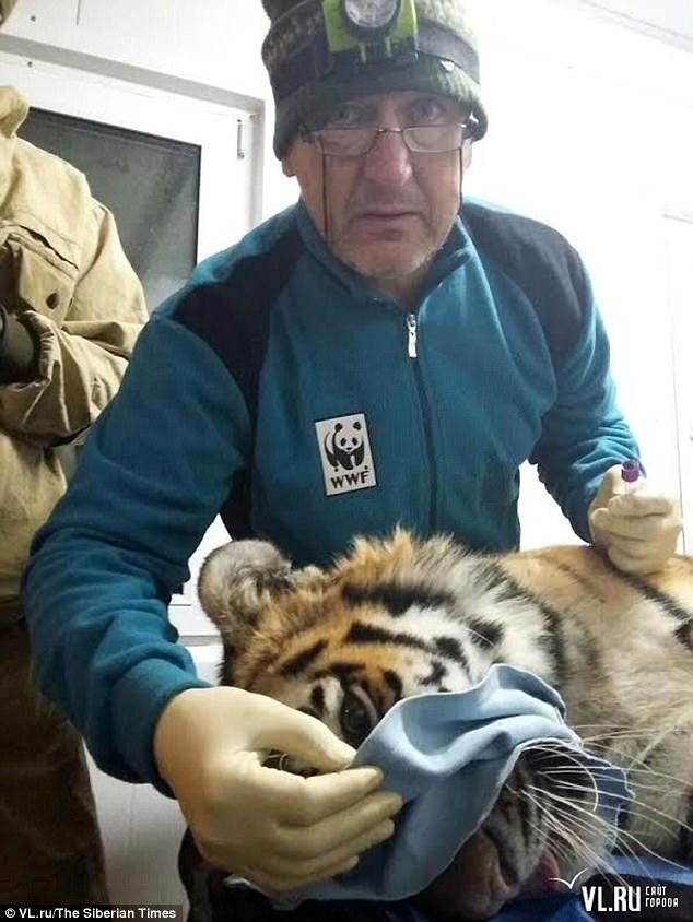 Nga: Hổ quý hiếm lặn lội 600 km về thăm TP, giết 3 gấu ăn dọc đường - 2
