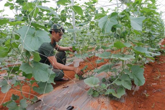 """9X bảnh trai xuất ngũ về quê, trồng vườn dưa lưới """"vạn người mê"""" - 4"""