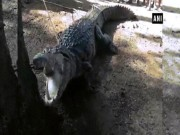 Cá sấu khổng lồ lẻn vào nhà, cả làng Ấn Độ cãi nhau tìm cách xử