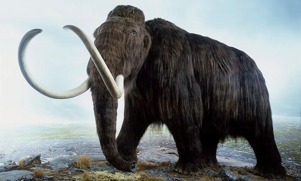 Vì sao hóa thạch voi ma mút đực tồn tại đến ngày nay, cái thì không? - 1