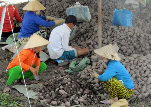 Làm giàu ở nông thôn: Chỉ trồng 60 công khoai mà lãi 1,2 tỷ đồng - 1