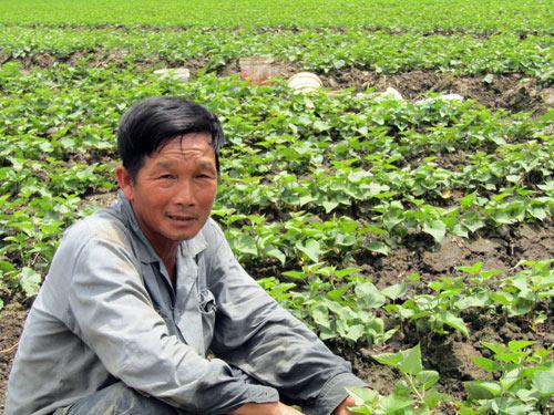 Làm giàu ở nông thôn: Chỉ trồng 60 công khoai mà lãi 1,2 tỷ đồng - 2