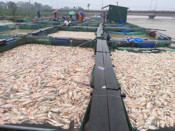 Huế: Người dân điêu đứng khi cá lồng chết hàng loạt - 1