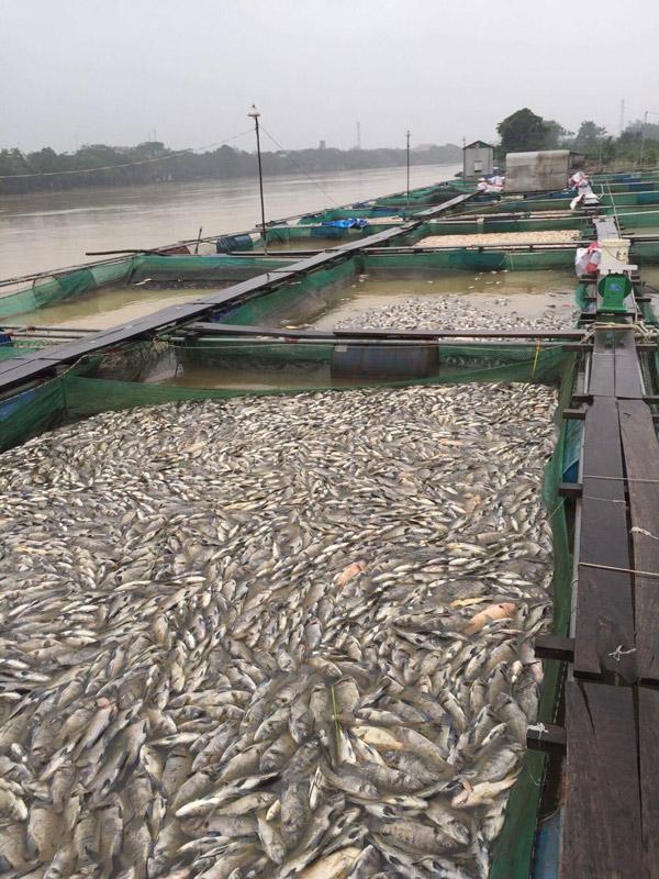 Huế: Người dân điêu đứng khi cá lồng chết hàng loạt - 3