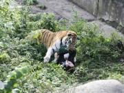 Thế giới - Cô gái chăm sóc hổ ở Nga bị hổ dữ tấn công, cắn xé