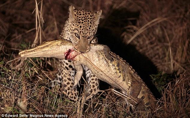 Khoảnh khắc báo châu Phi đoạt mạng cá sấu dài 2 mét - 1
