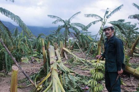 Khánh Hòa: Xót xa nhìn vườn chuối đổ như ngả rạ, nông dân mất Tết - 1