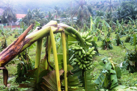 Khánh Hòa: Xót xa nhìn vườn chuối đổ như ngả rạ, nông dân mất Tết - 3