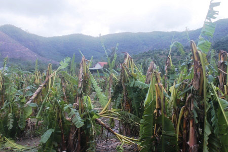 Khánh Hòa: Xót xa nhìn vườn chuối đổ như ngả rạ, nông dân mất Tết - 4
