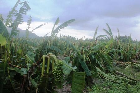 Khánh Hòa: Xót xa nhìn vườn chuối đổ như ngả rạ, nông dân mất Tết - 5