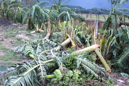 Khánh Hòa: Xót xa nhìn vườn chuối đổ như ngả rạ, nông dân mất Tết - 6