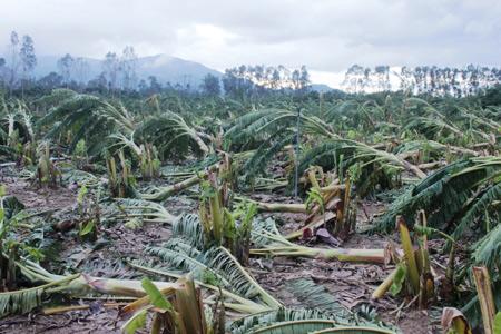 Khánh Hòa: Xót xa nhìn vườn chuối đổ như ngả rạ, nông dân mất Tết - 7