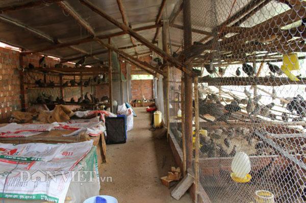 LẠ MÀ HAY: Rào vườn cà phê nuôi bạt ngàn chim trĩ - 2