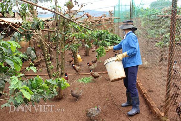 LẠ MÀ HAY: Rào vườn cà phê nuôi bạt ngàn chim trĩ - 3