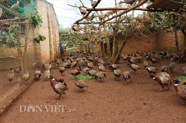LẠ MÀ HAY: Rào vườn cà phê nuôi bạt ngàn chim trĩ - 4