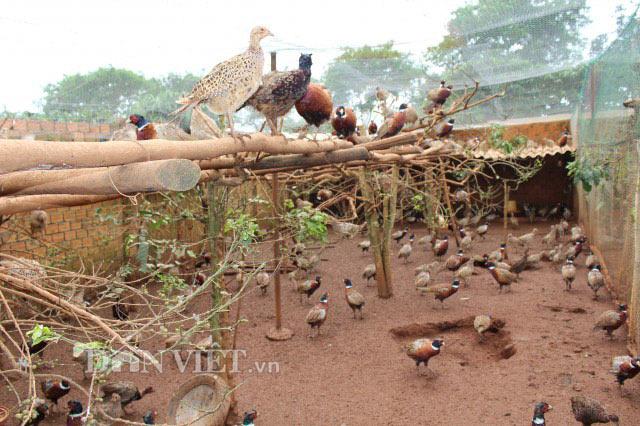 LẠ MÀ HAY: Rào vườn cà phê nuôi bạt ngàn chim trĩ - 5
