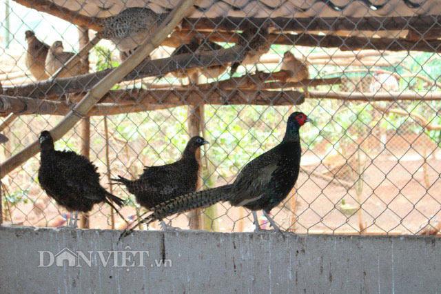 LẠ MÀ HAY: Rào vườn cà phê nuôi bạt ngàn chim trĩ - 6