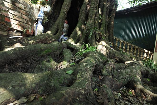 Lạ kỳ cây thị nghìn tuổi, chỉ có 1 quả mỗi mùa ở Hà Nội - 2