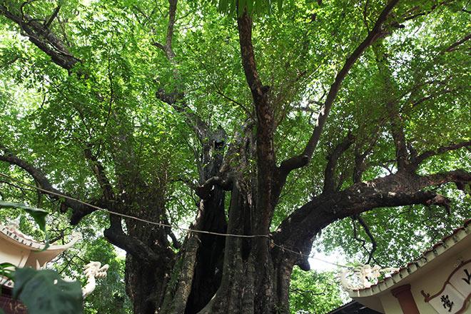 Lạ kỳ cây thị nghìn tuổi, chỉ có 1 quả mỗi mùa ở Hà Nội - 4