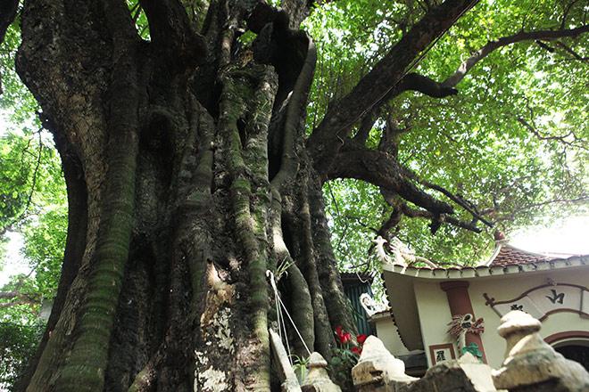 Lạ kỳ cây thị nghìn tuổi, chỉ có 1 quả mỗi mùa ở Hà Nội - 3