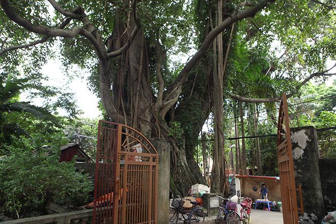 Lạ kỳ cây thị nghìn tuổi, chỉ có 1 quả mỗi mùa ở Hà Nội - 10