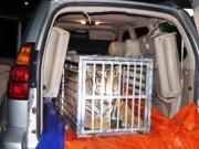 Phát hiện  chúa sơn lâm  còn sống nặng 300 kg trên xe Lexus