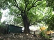 Lạ kỳ cây thị nghìn tuổi, chỉ có 1 quả mỗi mùa ở Hà Nội