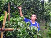 Thị trường - Tiêu dùng - Chỉ với 1.000m2 trồng cam xoàn: Lãi 70 triệu/vụ, thu trái quanh năm