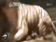 Hổ và sư tử gặp nhau: Cuộc chiến khủng khiếp của 2 chúa tể