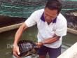 Lão nông miền Tây nuôi hàng trăm con rùa  khủng , bán tiền triệu/con