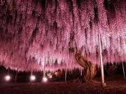 Choáng ngợp cây tử đằng trăm tuổi với tán hoa trải rộng tới 2.000m2