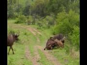 Điều gì xảy ra khi sư tử tấn công trâu rừng nặng 1 tấn?