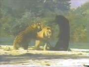 Gấu đen một mình kịch chiến 2 hổ trưởng thành hung dữ