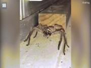 """Đang rửa bát, giật mình thấy nhện khổng lồ  """" đánh răng """""""