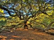 """Sức sống mãnh liệt của cây sồi  """" thiên thần """"  450 tuổi ở Mỹ"""