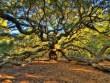 """Du lịch - Sức sống mãnh liệt của cây sồi  """" thiên thần """"  450 tuổi ở Mỹ"""