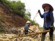 Bán cả rừng keo 2ha mới được 20 triệu, nông dân xứ Nghệ thua đau