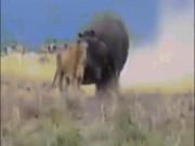 """Sư tử  """" bá chủ châu Phi """"  bị con vật này đánh cho nhừ đòn"""