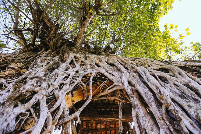 Kỳ thú đình làng nằm gọn trong bộ rễ của hai cây bồ đề - 4