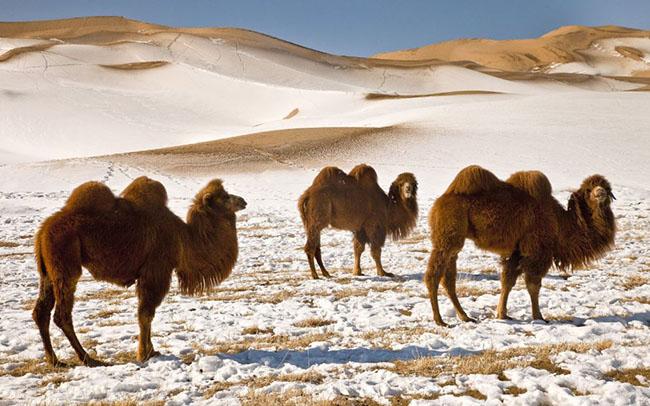 Sa mạc Gobi, Mông Cổ: Đến với Sa mạc Gobi vào mùa đông, du khách sẽ ngẫn ngơ trước một phong cảnh hung vĩ với những đồi cát lớn phủ đầy tuyết đồng thời còn được hòa mình vào lễ hội lạc đà với các cuộc đua lạc đà và thi đấu polo. Nếu bạn thích tham gia vào cuộc đua, bạn cũng sẽ được chào đón, được cưỡi lên một con con lạc đà và tham gia cuộc diễu hành