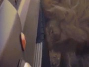 Thấy xe chở người, sư tử ngứa mắt đến gặm một phát thủng cả lốp